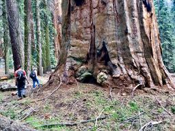 giant sequoia and hikers